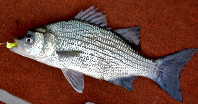 Trash control protecting rochester 39 s most pristine for Silver bass fish
